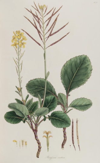 brassica cretica