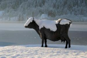 a.baa-cow-in-the-snow
