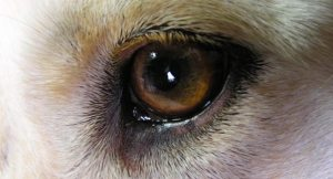 dog-eye-10