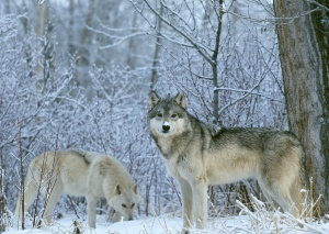 2_gray-wolves-in-snow-beautiful-kewl1