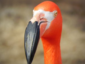 flamingo_head_reference_by_zoetaylor11-d5yueqz