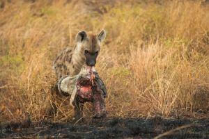 pay-hyena