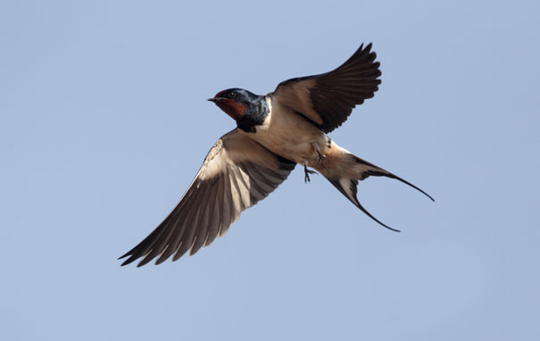 swallow6
