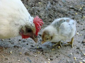 chicken-lovers-day_hen-chick1544
