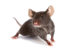web_0009_find-and-order-jax-mice