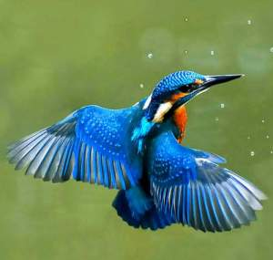 Common kingfisher, Alcedo atthis3