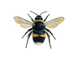 bee_illus_1_White-tailed-bumblebee_XSM