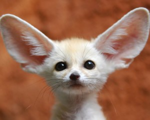 fennec-fox-pup-for-sale-wallpaper-2