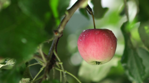 red-apple-with-rain-drops-on-the-tree-apple-tree-wet-from-the-rain-rain-in-the-apple-orchard-red-apple-juicy-greens-fruit-tree-juicy-red-apple-on-the-tree-branch_rego_zeep_thumbnail-full