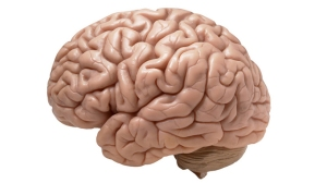 d305ec2a-9f5a-4894-8cd3-a7c43bb0756b-brain-640